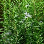 Rosemary Speedy, P9, wholesale